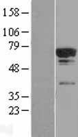 NBL1-16790 - TCP11L2 Lysate