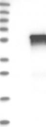 NBP1-86955 - Tektin-2 (TEKT2)