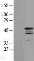 NBL1-16810 - TEKT2 Lysate