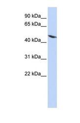NBP1-56636 - Tektin-4 (TEKT4)