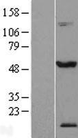 NBL1-16822 - TEX13A Lysate