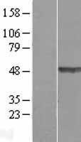 NBL1-16825 - TEX28 Lysate
