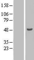 NBL1-16826 - TEX9 Lysate