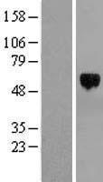 NBL1-16838 - TFEB Lysate
