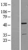 NBL1-16841 - TFG Lysate