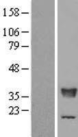 NBL1-16756 - TFIIS Lysate