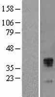 NBL1-16845 - TFPI Lysate