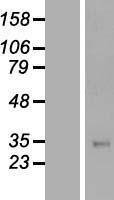 NBL1-16846 - TFPI Lysate