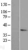 NBL1-16850 - TGDS Lysate