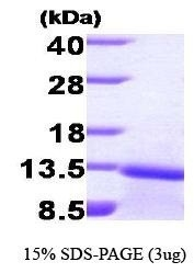NBP1-30225 - TGFB1