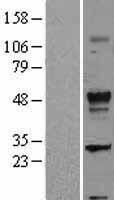 NBL1-16854 - TGF beta 2 Lysate