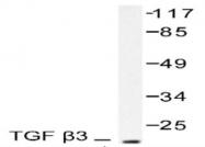 NB100-91997 - TGF-beta-3 (TGFB3)