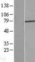 NBL1-16855 - TGFBI Lysate