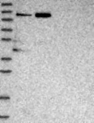 NBP1-80668 - TGFBRAP1 / TRAP1