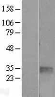NBL1-16861 - TGIF Lysate