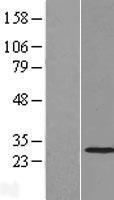 NBL1-16873 - THAP2 Lysate
