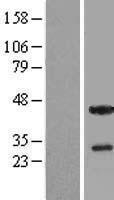 NBL1-16874 - THAP5 Lysate