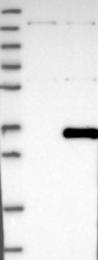 NBP1-81130 - THAP6
