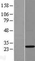 NBL1-16875 - THAP6 Lysate