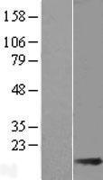 NBL1-16881 - THEM2 Lysate