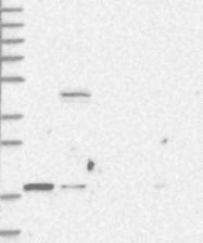 NBP1-83811 - THNSL2