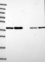 NBP1-92502 - THOC3