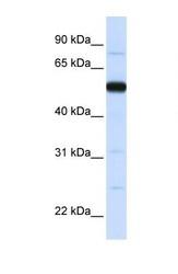 NBP1-55086 - THUMPD2
