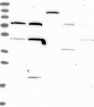 NBP1-92504 - THUMPD2