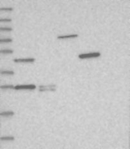 NBP1-86942 - THYN1 / THY28