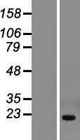 NBL1-16905 - THYN1 Lysate