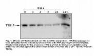 NBP1-18612 - CD202b / TEK