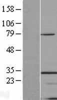 NBL1-16931 - TINP1 Lysate
