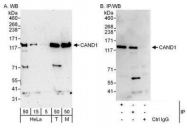 NBP1-49918 - CAND1