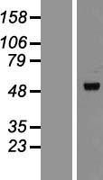 NBL1-12781 - TIP47 Lysate