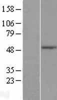 NBL1-16946 - TLE6 Lysate
