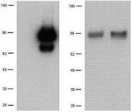 NBP1-43147 - CD281 / TLR1