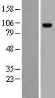 NBL1-16951 - TLR10 Lysate