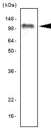 NBP1-04349 - TLR7