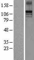 NBL1-16957 - TLR9 Lysate