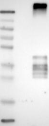 NBP1-90310 - CD231 / TSPAN7