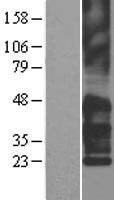 NBL1-17381 - TM4SF2 Lysate