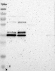 NBP1-81310 - TMBIM1 / RECS1