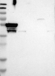 NBP1-85052 - TMCO4