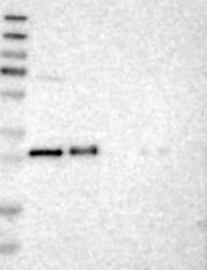 NBP1-81595 - TMED1