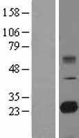 NBL1-16986 - TMED9 Lysate