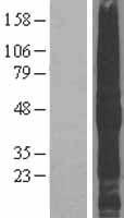 NBL1-16988 - TMEFF2 Lysate