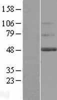 NBL1-17009 - TMEM130 Lysate