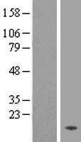 NBL1-17010 - TMEM133 Lysate