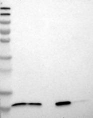 NBP1-81207 - TMEM141