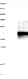 NBP1-93943 - TMEM149